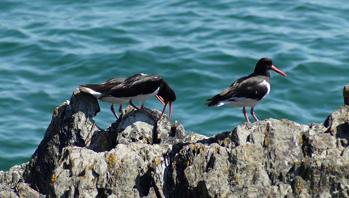 Oystercatchers seen on rock just off of Looe Island nature reserve