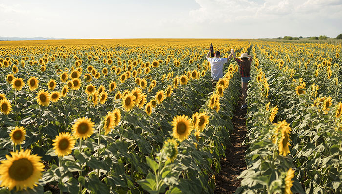 Rear view of a couple, walking through the sunflower field, raising arms and carrying a guitar.