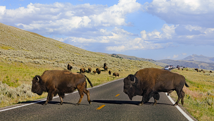 a picture of bison crossing the road in lamar valley
