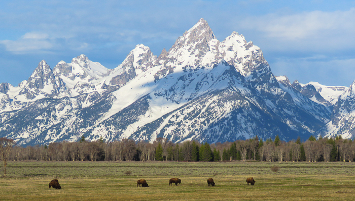 view of antelope flats at grand teton national park with bison feeding on the grass