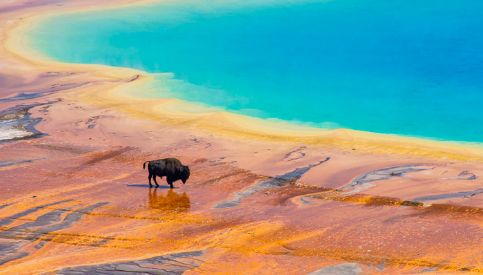Bison crossing the Grand Prismatic Spring in the Yellowstone National Park